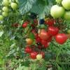 咸阳樱桃番茄苗厂 小粉色番茄育苗场